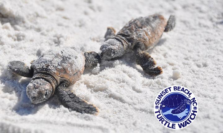 Living-in-BrunswickSea-Turtle-Talk-Sunset-Beach